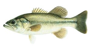 Mediterranean Fish Bass Largemouth