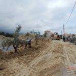 Olive Trees Transplanting