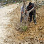 Olive Trees Transplanting means Respecting Cretan Nature