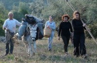 Olive Harvest is a family tradition for Cretan people