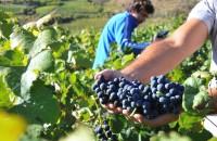 Cretan Vine Harvest